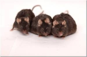 More Genetic Diversity In Labs Through More Wild Mouse Populations