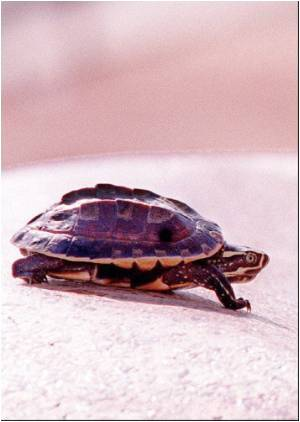 US Baby Dies of Salmonella from Pet Turtle