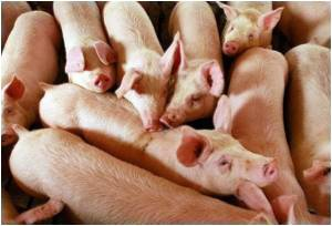 Glycerin As Diet For Pigs