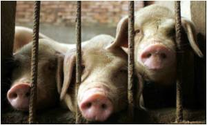 Pig Disease Kills Two Vietnamese Men