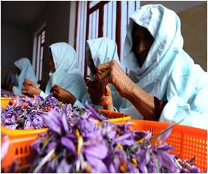 Saffron Pickers in Afghanistan Offer Alternative to Opium Crop