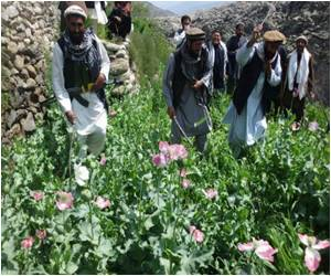 Opium Harvest in Afghanistan Drops by a Third