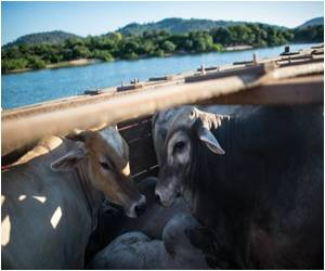 In the Brazilian Amazon Farmer Promotes Sustainable Cattle Rearing
