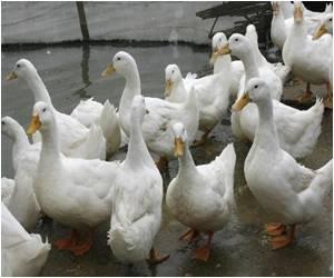 British Duck Farm Reports Bird Flu Outbreak