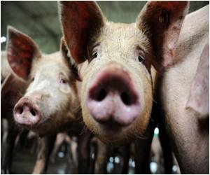 Britain's Ministry Defends Shooting Pigs
