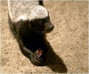 British Wildlife Experts Cancel Badger Cull