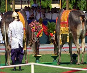 Royal Oxen in Cambodia Predict Good Harvest