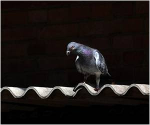 Japanese Pigeon Crosses Pacific to Canada: Animal Rescue Official