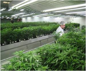 Business of Growing Medical Marijuana Booming in Canada