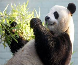 Pandas may Fake Pregnancies To Have a Better Lifestyle