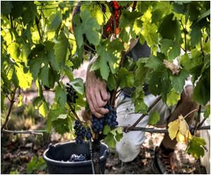 Winemakers Hunt for Climate Change-Resistant Grape In France's Famed Wine-Making Region