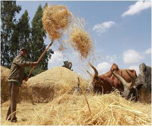 World's Next 'Super-Food' is Ethiopia's Teff Grain