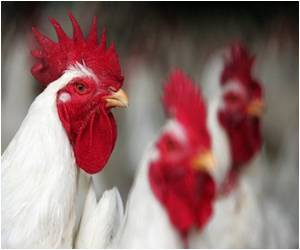 Battling Food-Borne Maladies by Inoculating Chicken