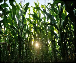 Researchers Uncover First Step to Reduce Plant Need for Nitrogen Fertilizer