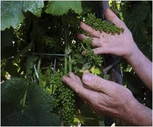 Winemakers Left in a Spin By Topsy-Turvy Weather