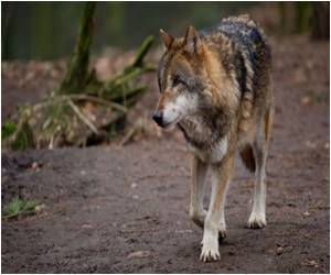Understanding Between Wolves Outweigh Those Between Dogs