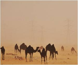 Study Says Camel may be MERS Virus Host