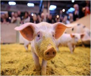 Pig Link to Ebola Virus Probed By Canada Lab