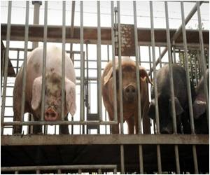 After Bird Flu, Now Flu Infections Rising Among Chinese Pigs