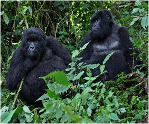 Origins of HIV Virus Strains Traced to Gorillas in Southwestern Cameroon