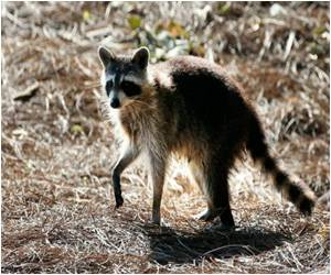 US Kidney Donor and Kidney Recipient Died of Raccoon Rabies