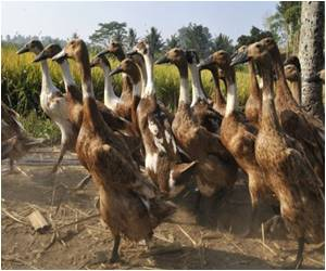 More Virulent Bird Flu Strain Has Been Found Says Indonesia