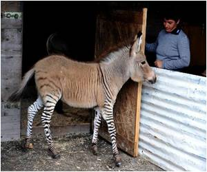 Zonkey-Cross Between a Zebra and a Donkey