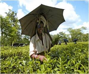 Black Tea Helps Treat Osteoporosis