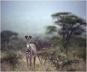 Zonkey-Cross Between a Zebra and a Donkey