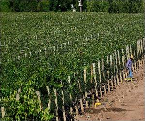 Argentina's Torrontes Grape Looks to Turn a Global Success by Targeting Asia