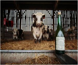 Cider Tipple Seems to be a Favorite of Prize Normandy Cattle