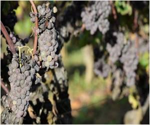Abundant Autumn Sun Improves Bordeaux Wine Harvest