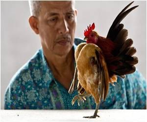 Tiny, Strutting Serama Fowl from Malaysia Gaining Popularity