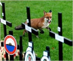 10,000 Urban Foxes Dwell in London Suburbs