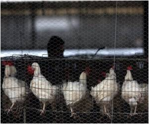 8 Million Chickens Slaughtered Amid Bird Flu Outbreak
