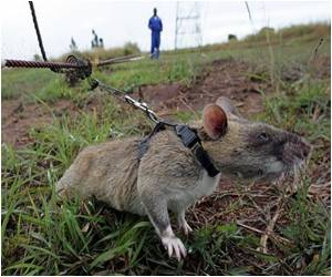 Rats Trained To Diagnose TB in Mozambique