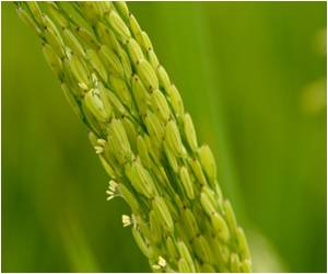 Second Green Revolution On the Cards Through DNA Rice-Growing Technique?