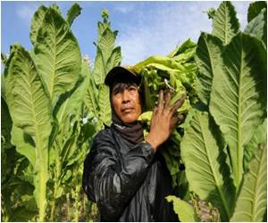 Tobacco Enriches and Corrupts Sun-drenched Northern Philippines