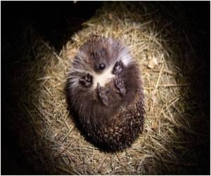 Polish Hedgehog Finds a Savior