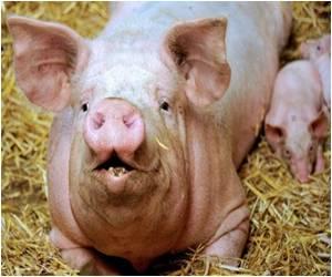 Genetic Code of Pig Decoded