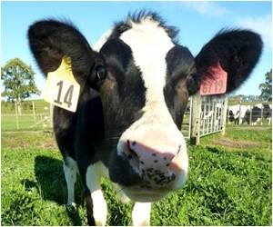 Allergy-free High-protein Milk from Genetically Modified Cow