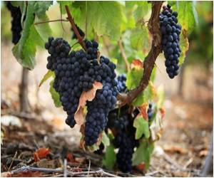 Canary Island Receives Bumper Grape Crop, Leading To Demand For Laborers
