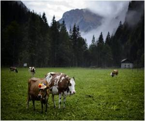 Swiss Farmers Irked by Suggestion to Ban Cowbells