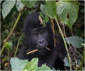 Mountain Gorillas in Uganda Under Threat but Tourist Dollars Protect