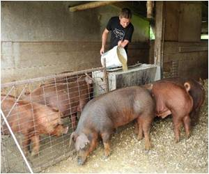 Whiskey Tasting Pigs Raised in US