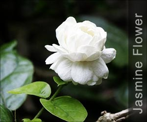 Jasmine - Home Remedies and Beauty Tips Glossary