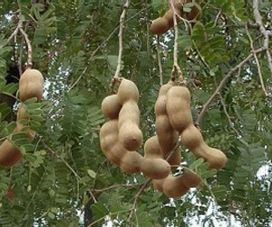 Tamarind Seeds To Regrow Damaged Nerves