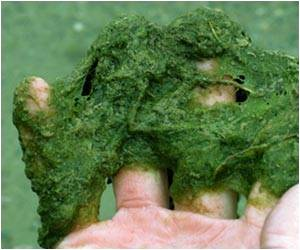 Tricking Algae's Biological Clock Boosts Production of Valuable Compounds