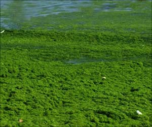 Ancient Algae Exhibits Potential Anti-cancer Activity