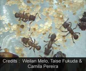 Ant Microbiota Compound Kills Drug-resistant Fungi